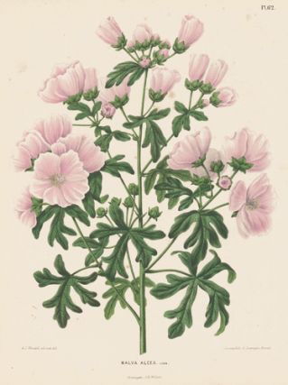 Malva Alcea. Flora. G. after A. J. Wendel Severeyns