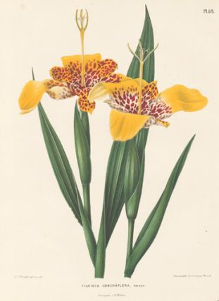 Tigridia Conchiiflora. Flora. G. after A. J. Wendel Severeyns