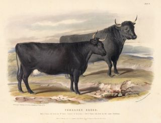 Pembroke Breed. The Breeds of the Domestic Animals of the British Islands. David Low