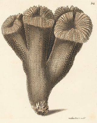 Thistle Madrepore. Naturalists' Miscellany. Frederick Nodder, George Shaw, Nodder Frederick,...