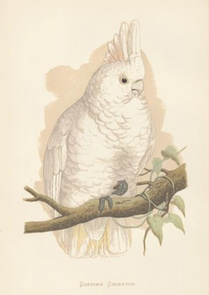 Goffin's Cockatoo. Parrots in Captivity.
