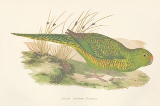 Green Ground Parrot. Parrots in Captivity. William Thomas Greene.