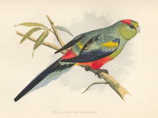 Many-Coloured Parrakeet. Parrots in Captivity. William Thomas Greene.