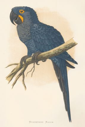 Hyacinthine Macaw. Parrots in Captivity. William Thomas Greene