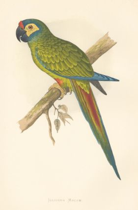 Illiger's Macaw. Parrots in Captivity. William Thomas Greene