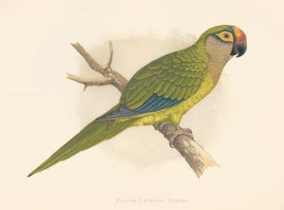 Golden-Crowned Conure. Parrots in Captivity.