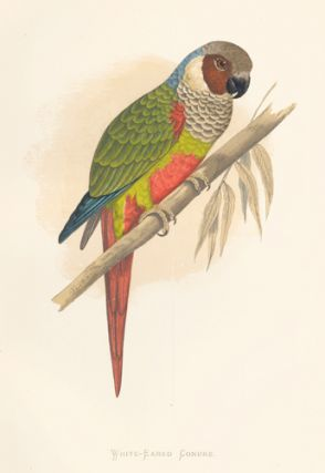 White-Eared Conure. Parrots in Captivity.