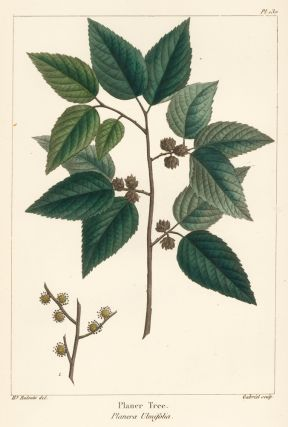 Planer Tree. The North American Sylva. François André Michaux
