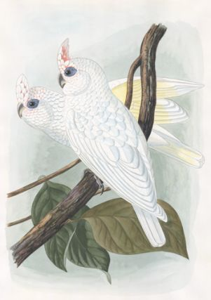 Ducorpsius Sanguineus. [Blood-stained Cockatoos.]. John Gould, after