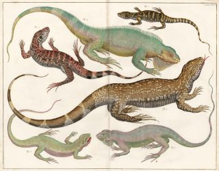 Bengal monitor and other Indian lizards. Locupletissimi rerum naturalium thesauri accurata...