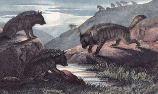Hyena. The Instructive Picture Book. Adam White, M H. H. J