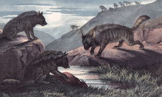 Hyena. The Instructive Picture Book.