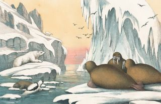 Walrus. The Instructive Picture Book. Adam White, M H. H. J