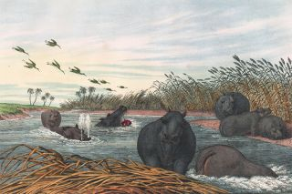 Hippopotamus. The Instructive Picture Book. Adam White, M H. H. J
