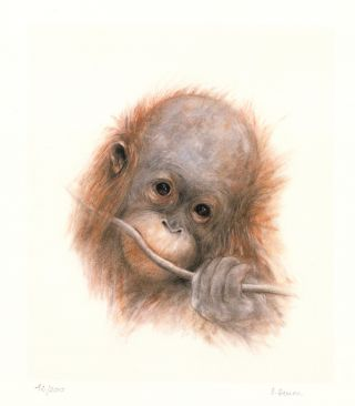 Baby Orangutan. Dominique Denou.
