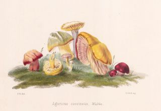 Agaricus coccineus. Illustrations of British mycology. Thomas John Hussey.