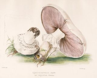 Agaricus arvensis. Illustrations of British mycology. Thomas John Hussey.