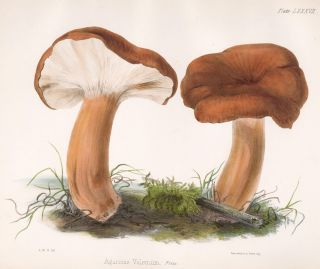 Agaricus Volemum. Illustrations of British mycology. Thomas John Hussey.