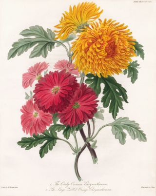 Vol. V, Pl III. The Early Crimson Chrysanthemum and the Large Quilled Orange Chrysanthemum. Royal...