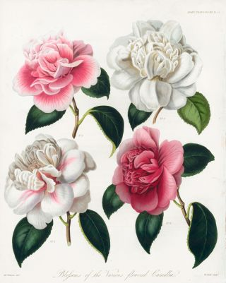 Vol. VII, Pl XIV. Blossoms of the Various Flowered Camellia. Royal Horticultural Society