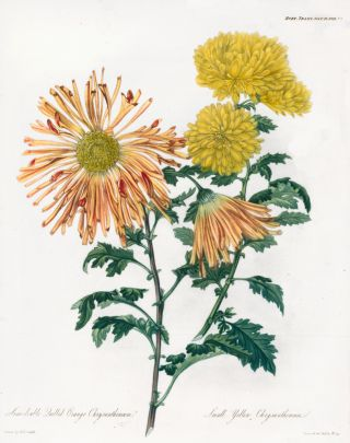 Vol. V, Pl XVII. Semi-double Quilled Orange Chrysanthemum and Small Yellow Chrysanthemum. Royal...