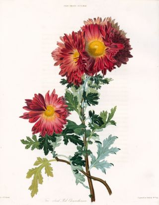 Vol. VI, Pl IV. Two-colored Red Chrysanthemum. Royal Horticultural Society