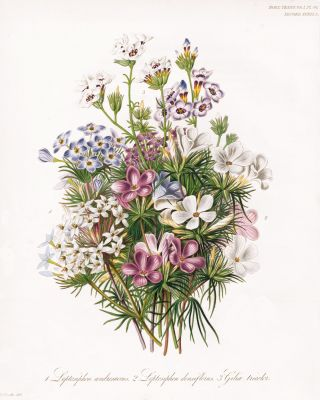 Leptosiphom androsaceus and Gilia tricolor. Royal Horticultural Society