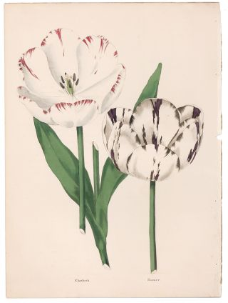 Elizabeth and Homer Tulips. The Florist's Museum. Frederick W. Smith