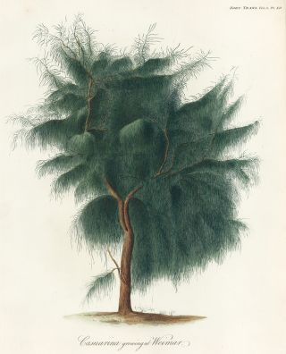 Casuarina growing at Weimar. Royal Horticultural Society