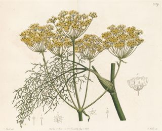Fennel. Geraniaceae: The Natural Order of Gerania. Robert Sweet