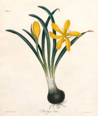 Sternbergia Lutea (Lily-of-the-Field). Margaret Lace Roscoe