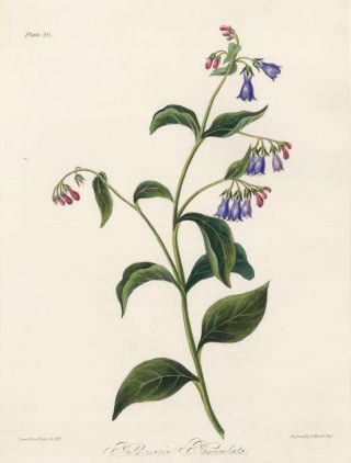 Pulmonaria Paniculata (Tall Lungwort). Margaret Lace Roscoe