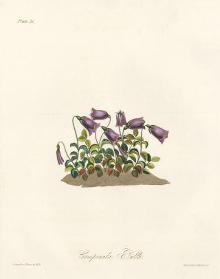 Campanula Pulla (Bellflower). Margaret Lace Roscoe