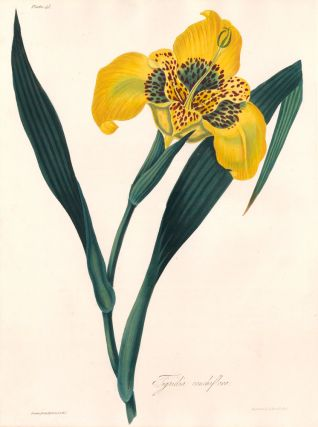 Tigridia Conchiflora (Tiger Flower). Margaret Lace Roscoe