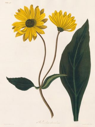 Helianthus Atrorubens (Purpledisk Sunflower). Margaret Lace Roscoe