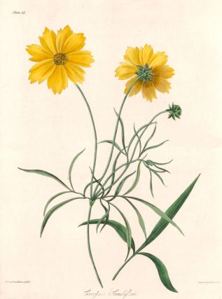 Coreopsis Grandiflora (Large-flowered Tickseed). Margaret Lace Roscoe