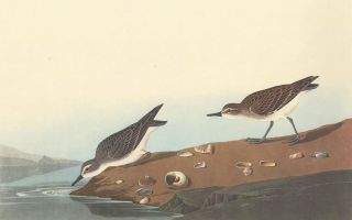 Semipalmated Sandpiper. John James Audubon