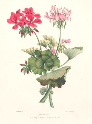 Geraniums. A Selection of Flowers. Valentine Bartholomew