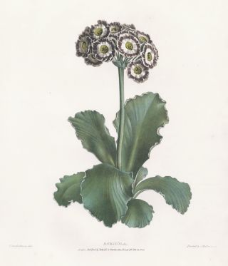 Auricula. A Selection of Flowers. Valentine Bartholomew
