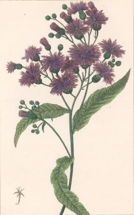 Vernonia Praealta [New York Ironweed]. Herbier General de l'Amateur. Pancrace Bessa