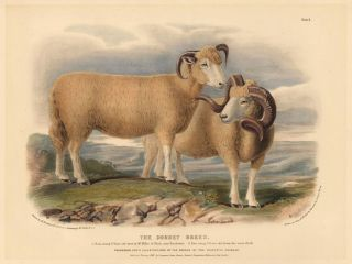 The Dorset Breed. The Breeds of the Domestic Animals of the British Islands. David Low