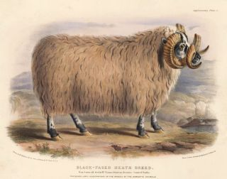 Black-Faced Heath Breed. The Breeds of the Domestic Animals of the British Islands. David Low