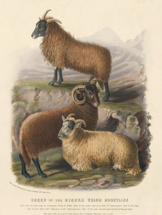 Breed of the Higher Welsh Mountains. The Breeds of the Domestic Animals of the British Islands. David Low.