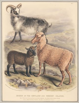 Breed of the Zetland and Orkney Islands. The Breeds of the Domestic Animals of the British...