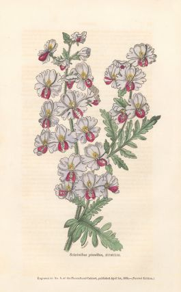 Scizanthus pinnatus, HUMILIS. The Floricultural Cabinet and Florist's Magazine. Floricultural...