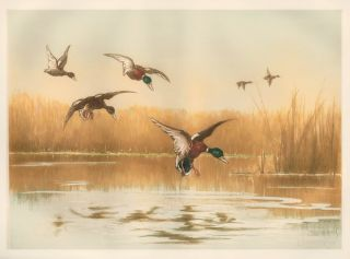 Mallard Ducks in Flight. Unknown