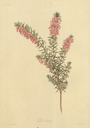 Erica carnea (Flesh colored, early flowering Heath). Margaret Lace Roscoe