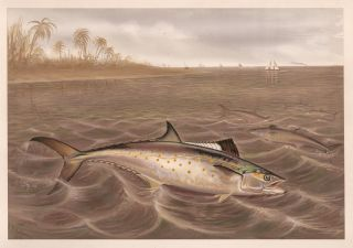 Spanish Mackerel. Game Fishes of the United States. S. A. Kilbourne