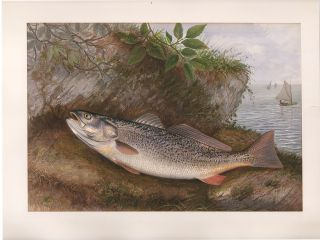 Weakfish. Game Fishes of the United States. S. A. Kilbourne