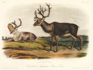 Caribou or American Rein Deer. The Quadrupeds of North America. John James Audubon